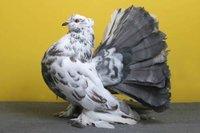 Fantail peagion
