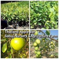 Thailand Apple Ber Plant