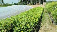 Thailand Apple Ber Plant