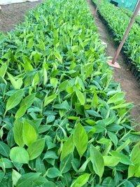 G9 Banana Plant