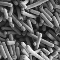 Lactobacillus johnsonii LJ-113 (MTCC 7825)