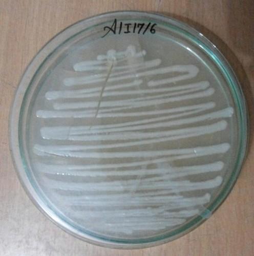 Aspergillus Awamori