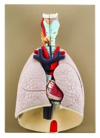 Heart and Lung Model, 7 Parts