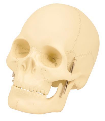 Human Skull Model, 2 Parts