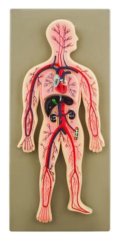 Human Circulatory System Model, Hand Painted