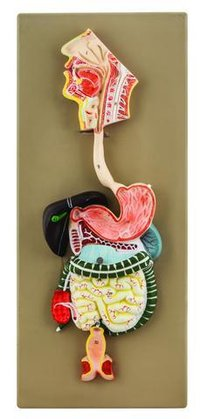 Human Digestive System Model, 2 Parts, Hand Painted