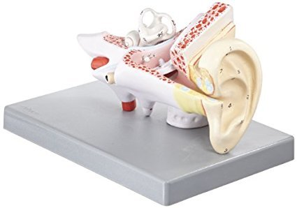 Human Ear Model, 2 Times Enlarged, 3 Parts