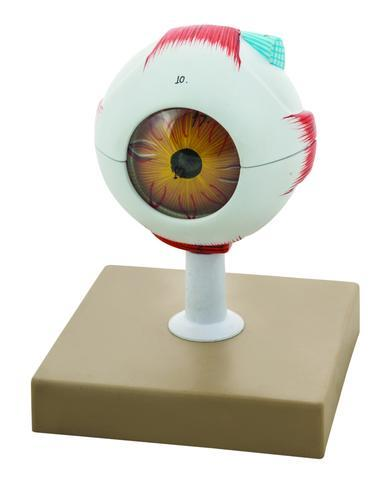 Human Eye Model, 7 Parts, 3 Times Enlarged - Hand Painted