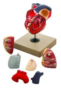 Human Heart Model, Hand Painted, 7 Parts