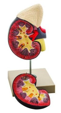 Human Kidney With Adrenal Gland Model, 2 Parts - Hand Painted