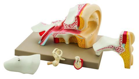Premium Human Ear Model, 4 Times Enlarged, 5 Parts