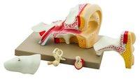 Premium Human Ear Model, 4 Times Enlarged, 5 Parts
