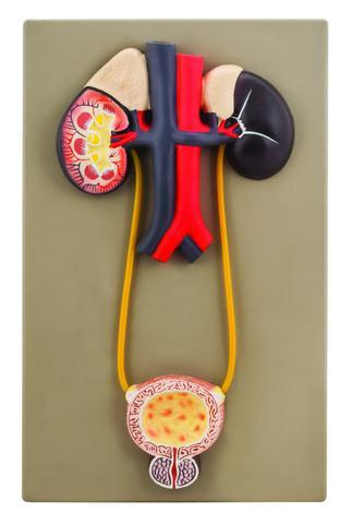Urinary Organs - Kidney With Bladder Model