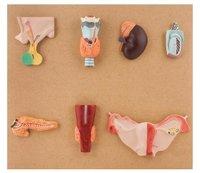 Endocrine Glands Set of 7