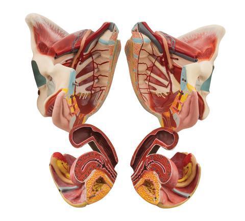 Female Muscle Pelvis - 4 Parts