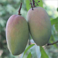 Forest Mangoes