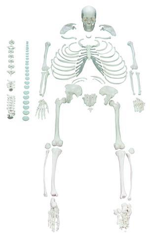 FULL DISARTICULATED HUMAN SKELETON - LIFE SIZE