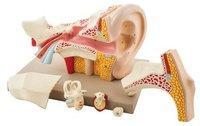 HUMAN EAR - 6 PARTS