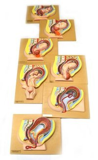 HUMAN FETAL DEVELOPMENT STAGES MODEL ( 7 STAGES) 18 X 14
