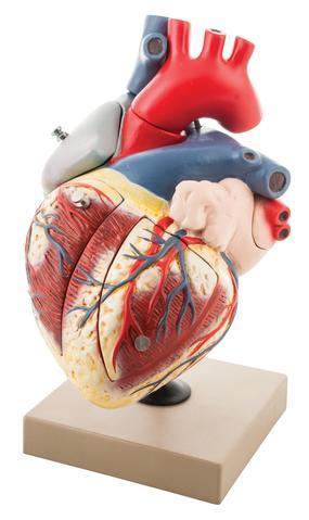 HUMAN HEART ENLARGED - 7 PARTS