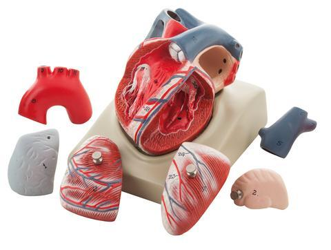 Human Heart on Diaphragm Enlarged 3 Times - 7 Parts