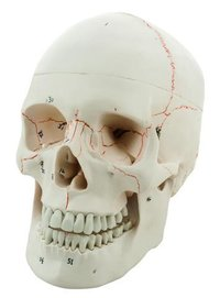HUMAN SKULL MODEL - NUMBERED 3 PARTS