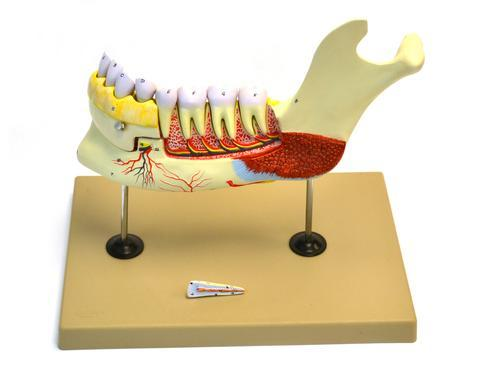 LOWER HUMAN JAW MODEL - 5 TIMES LIFE SIZE