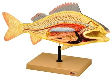 Fish Dissecting Model