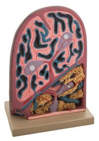 MICROSCOPIC STRUCTURE SPLEEN MODEL