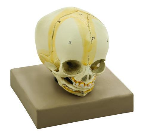 MODEL ARTIFICIAL INFANT SKULL