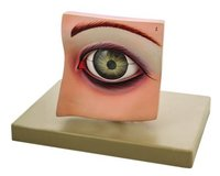 MODEL EYE WITH LID ON BASE