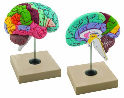 MODEL FUNCTIONING OF BRAIN