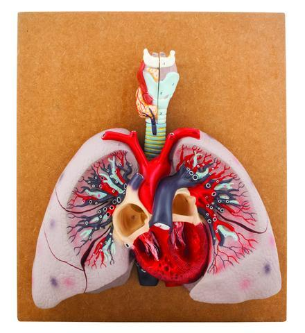 MODEL HEART WITH LUNGS & LARYNX