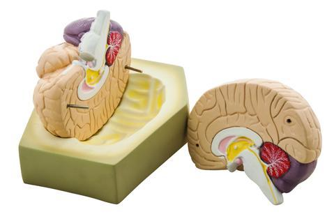 MODEL HUMAN BRAIN - 2 PARTS CENTRALLY DIVIDED