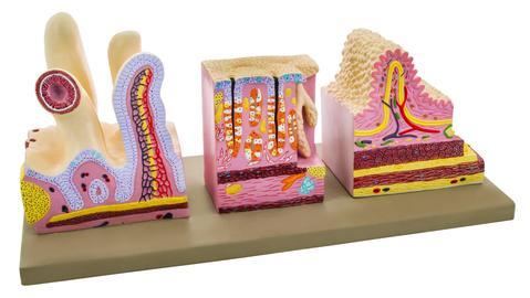 MODEL HUMAN DIGESTIVE CANAL