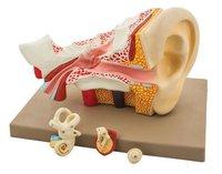 MODEL HUMAN EAR - 4 PARTS