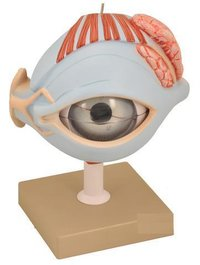 MODEL HUMAN EYE WITH LID ON STAND - 7 PARTS