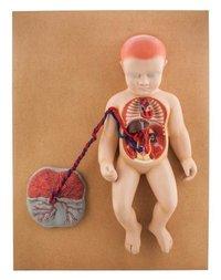 MODEL HUMAN FETAL CIRCULATION