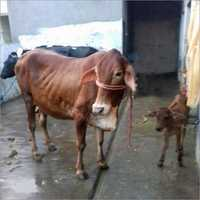 Sahiwal Breeds Cattle