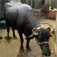 Buffalo Heifer