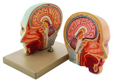 MODEL HUMAN HEAD & BRAIN - 3 PARTS