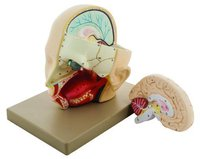 MODEL HUMAN HEAD WITH BRAIN - 2 PARTS