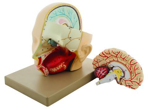 MODEL HUMAN HEAD WITH BRAIN - 3 PARTS