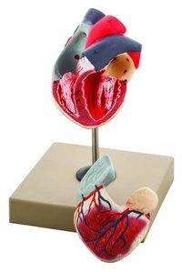 MODEL HUMAN HEART - 2 PARTS