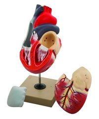 MODEL HUMAN HEART - 3 PARTS