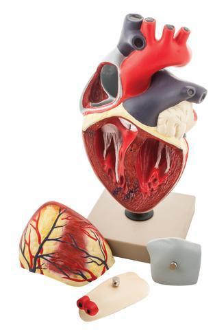 MODEL HUMAN HEART - 4 PARTS