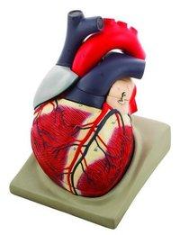 MODEL HUMAN HEART - 7 PARTS