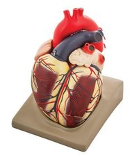 MODEL HUMAN HEART - EXTRA LARGE SIZE