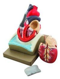 MODEL HUMAN HEART ON DIAPHRAGM - 4 PARTS