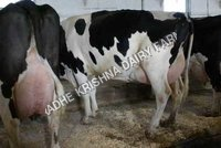 Hf breed cows